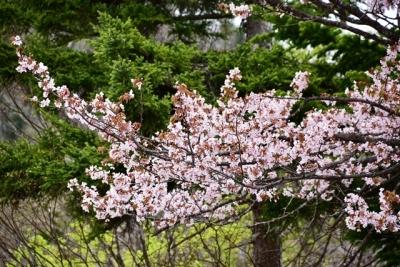 ぬかびら温泉郷で桜がお出迎え