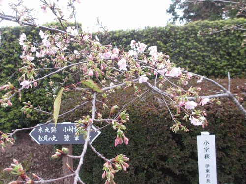 IMG_9075小室桜