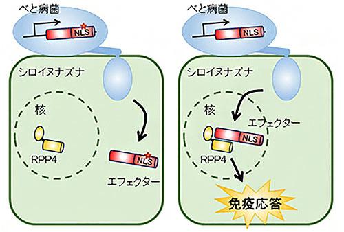 植物病原菌の巧妙な認識回避機構