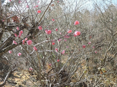 高尾、早咲きの梅