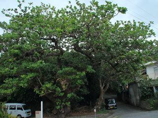 泊の大クワディサー,モモタマナの大木
