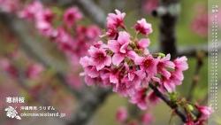 寒緋桜(カンヒザクラ) デスクトップカレンダー2月