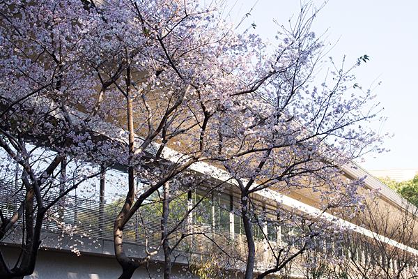 熱田神宮四季桜