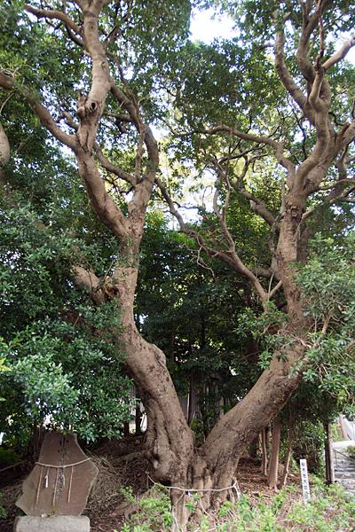 籠山神社保存樹ヤマモモ