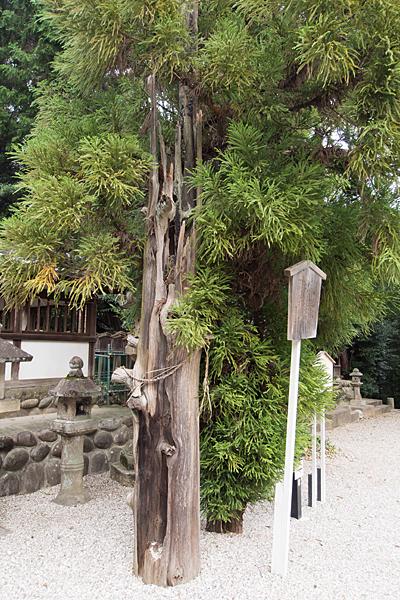 桶狭間神明社御神木の杉