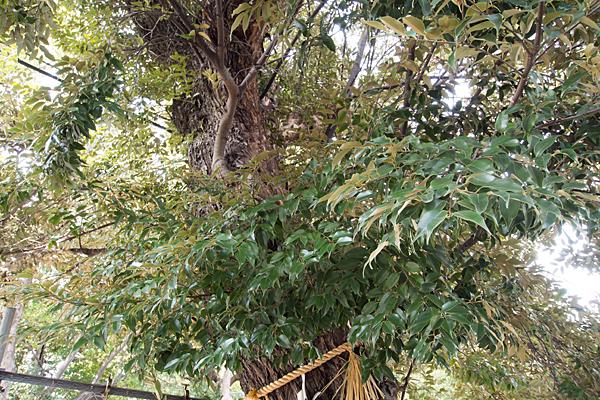 川名本町小社何の木?