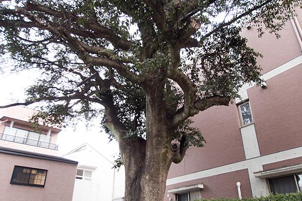 マンションの木