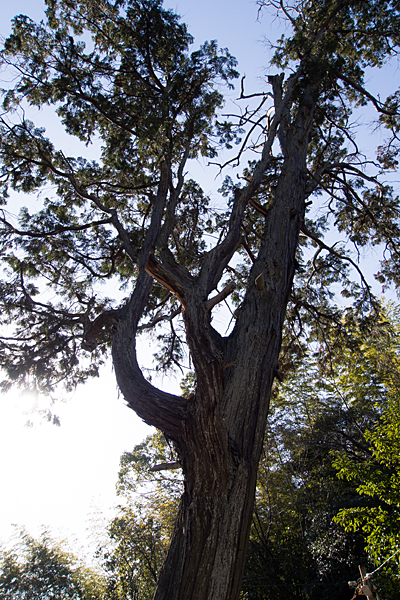 苗代神社境内の木