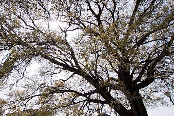 桜の終わり