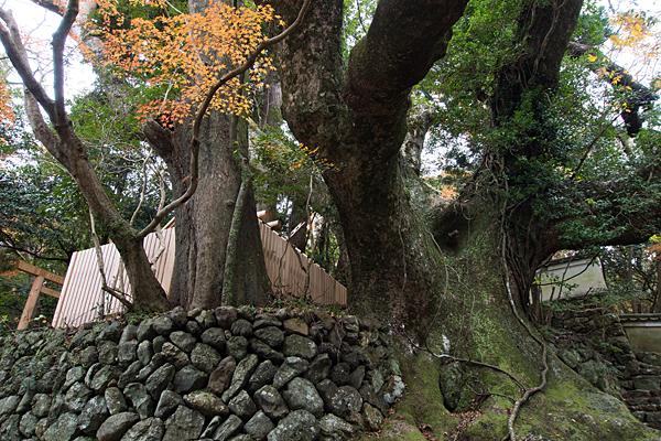 大水神社クスノキ