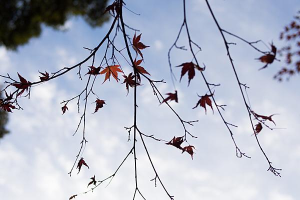 寂光院紅葉枯れモミジ