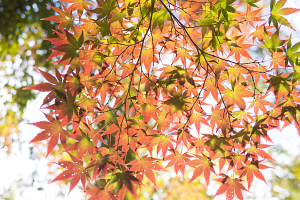 寂光院紅葉の葉