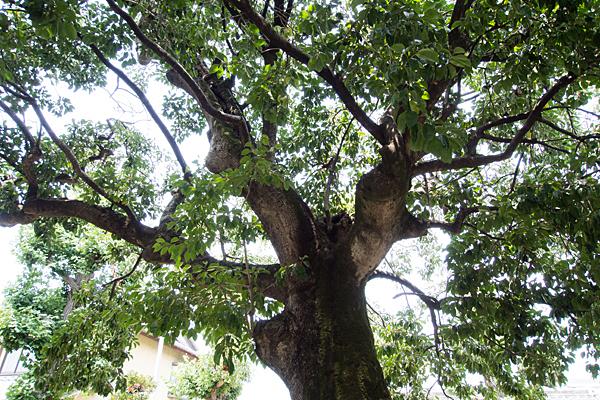 境内の神木