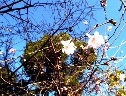 速咲き桜4ブログ用