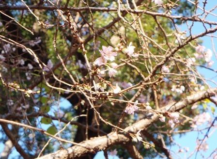 速咲き桜5ブログ用