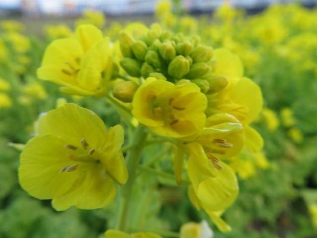 元気色、菜の花