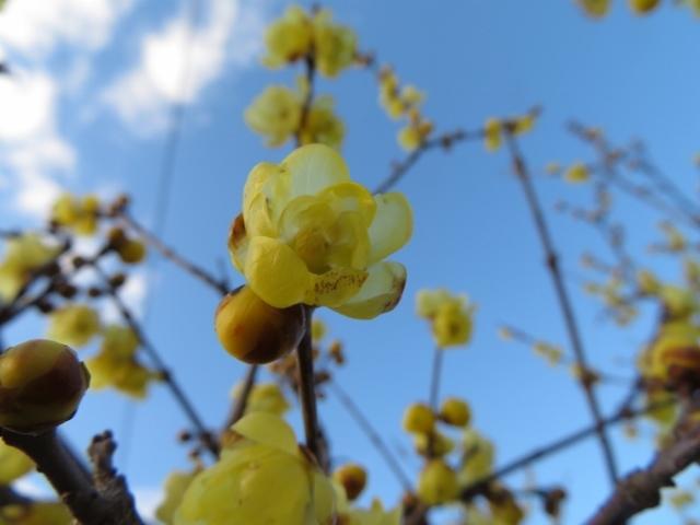青空に映えるロウバイの花