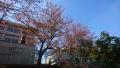 20181103桜の紅葉