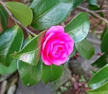 八重咲き椿 350