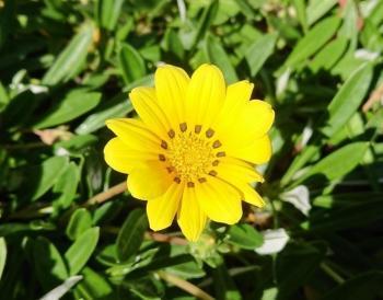 黄色の花 350
