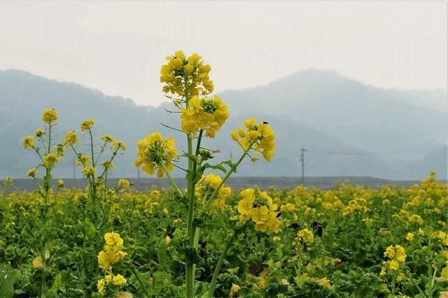 菜の花11