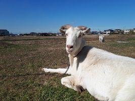 【写真】春のような陽気の青空の下、座ってくつろぎながらこちらを振り返るヤギのアラン