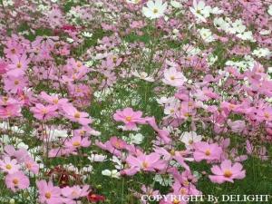 昭和記念公園 秋桜