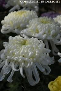 古河ネーブルパーク菊祭り