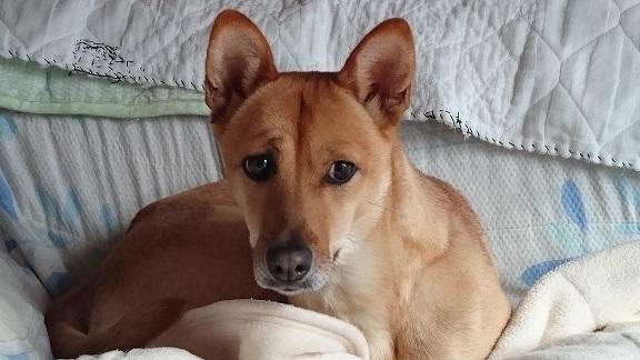 【マリリン・コロリンの姉妹犬、はなちゃん】
