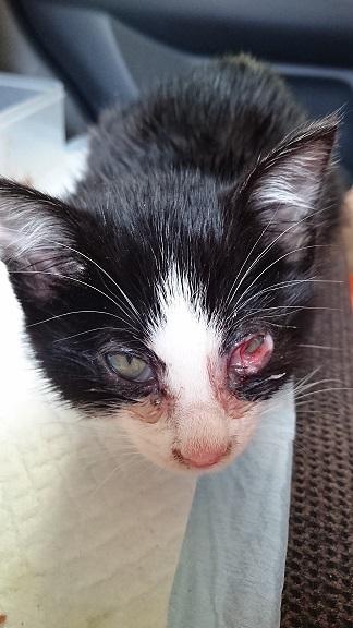 美和ちゃん14 12月1日、病院で治療直後の白黒子猫ちゃん