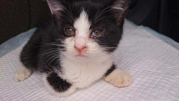 美和ちゃん15 12月7日、随分、目が綺麗になって、体重が200グラム増え、980グラムになっていた白黒子猫ちゃん