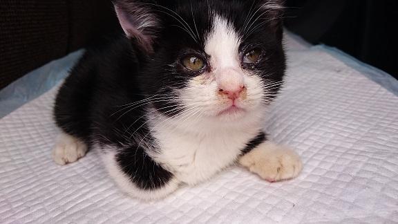 美和ちゃん16 いつもされるがままで、ポヤ~ンとして、おおらかな性格の白黒子猫ちゃん