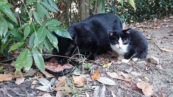 美和ちゃん17 12月1日、病院で治療後、白黒子猫ちゃんを公園に戻すと、母猫に甘えてすり寄って行き、一緒にウエットフードを食べました