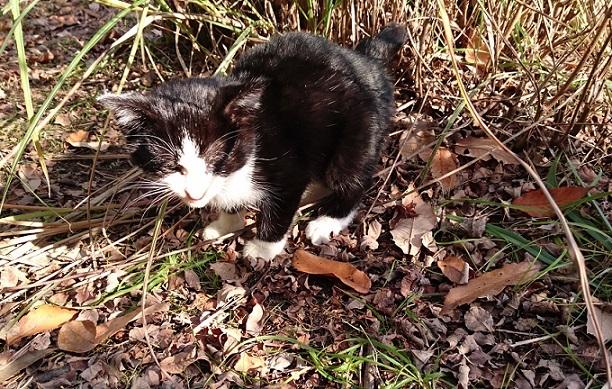 美和ちゃん いつもなら簡単に捕まえることができていた白黒子猫ちゃんですが、この日は『フーッ💢』と威嚇しながら藪に逃げ込みました