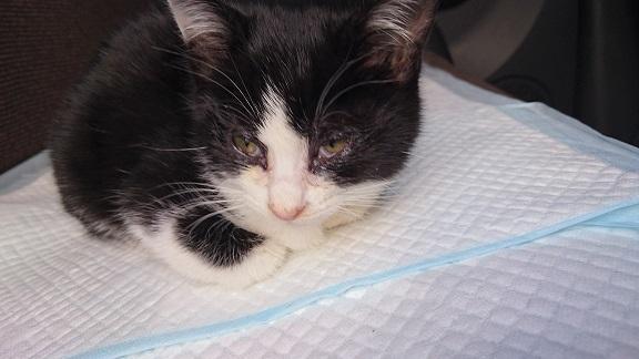 美和ちゃん 治癒が終了した松山総合公園の白黒子猫ちゃん