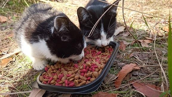 美和ちゃん 治療後、仲良く一緒にカリカリを食べる白黒子猫ちゃん兄弟㊧治療した子猫ちゃん㊨すばしっこく逃げ捕まらない子猫ちゃんも元気そうです