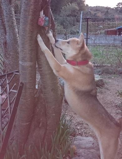 ハットリ⑬木の上に置かれたクリスマスプレゼントのボールを取ろうとするハットリくん