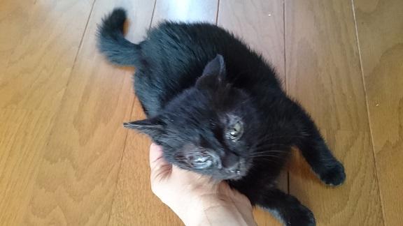 美和ちゃん2松山総合公園で衰弱していて保護した黒子猫ちゃん✨❤️✨すっかり元気になり、オテンバ娘ぶりを発揮中