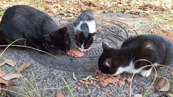美和ちゃん4子猫たちが食べるのを見守っていた、お母さん猫も一緒に食べ始めました