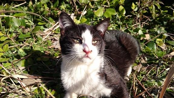 美和ちゃん1松山総合公園の治療をした白黒子猫ちゃんに久しぶりに会えました(=^ェ^=)大きくなっていました
