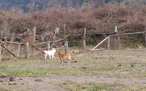 東温市の犬ちゃん①乗馬クラブに2匹の犬ちゃんがいました。警戒して吠えながら逃げました。