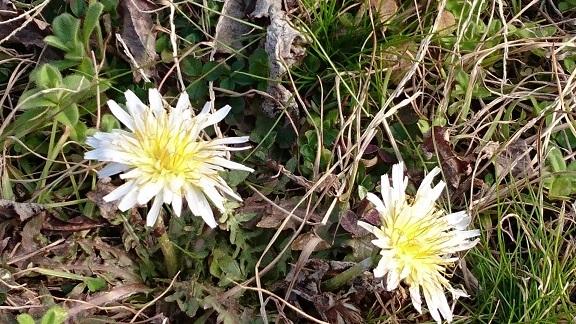 乗馬クラブのすぐそばの畦道にタンポポが2輪だけ、ひっそり咲いていました小さい春を見つけました①