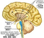 脳幹網様体賦活系