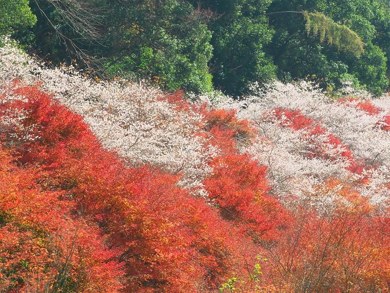 小原の四季桜 二