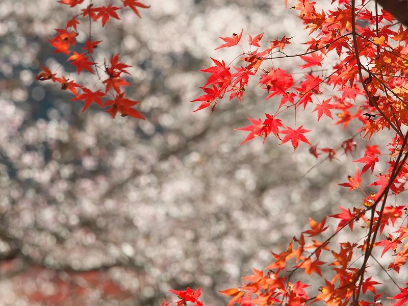 小原の四季桜 三