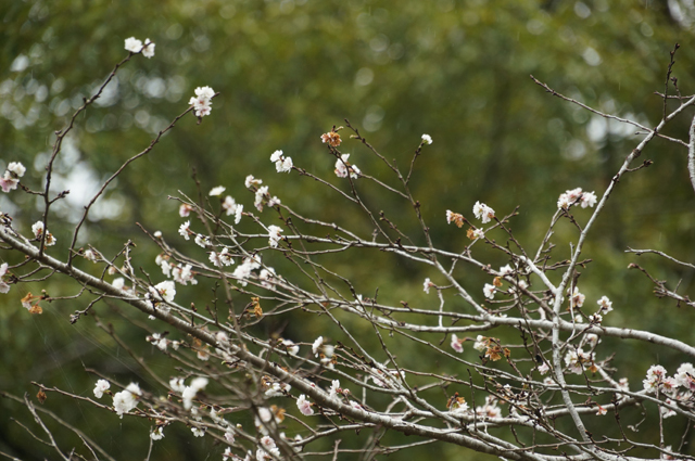 秋に桜、青梅でも