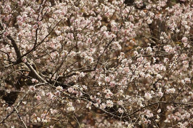 青梅の四季桜