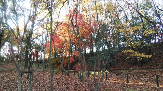 栃谷戸公園の色付いたモミジ