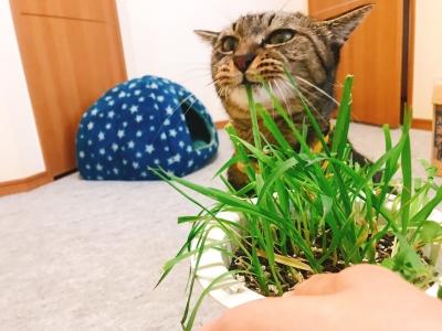 猫草を引っ張る