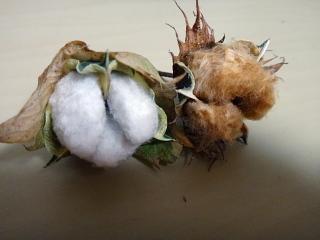 和綿と洋綿